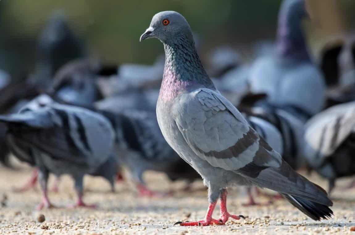 Gambar Burung Merpati Kolongan