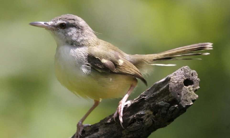 Gambar Burung PrenjakGunung