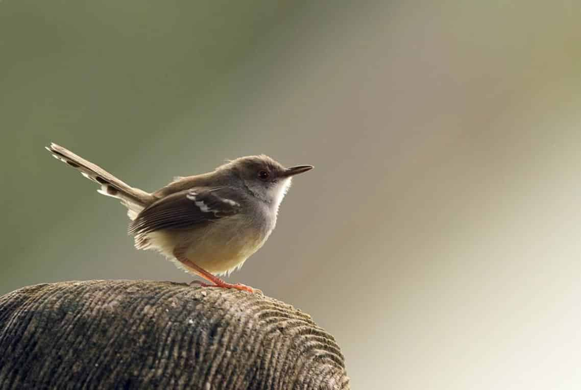 Gambar Burung PrenjakSawah