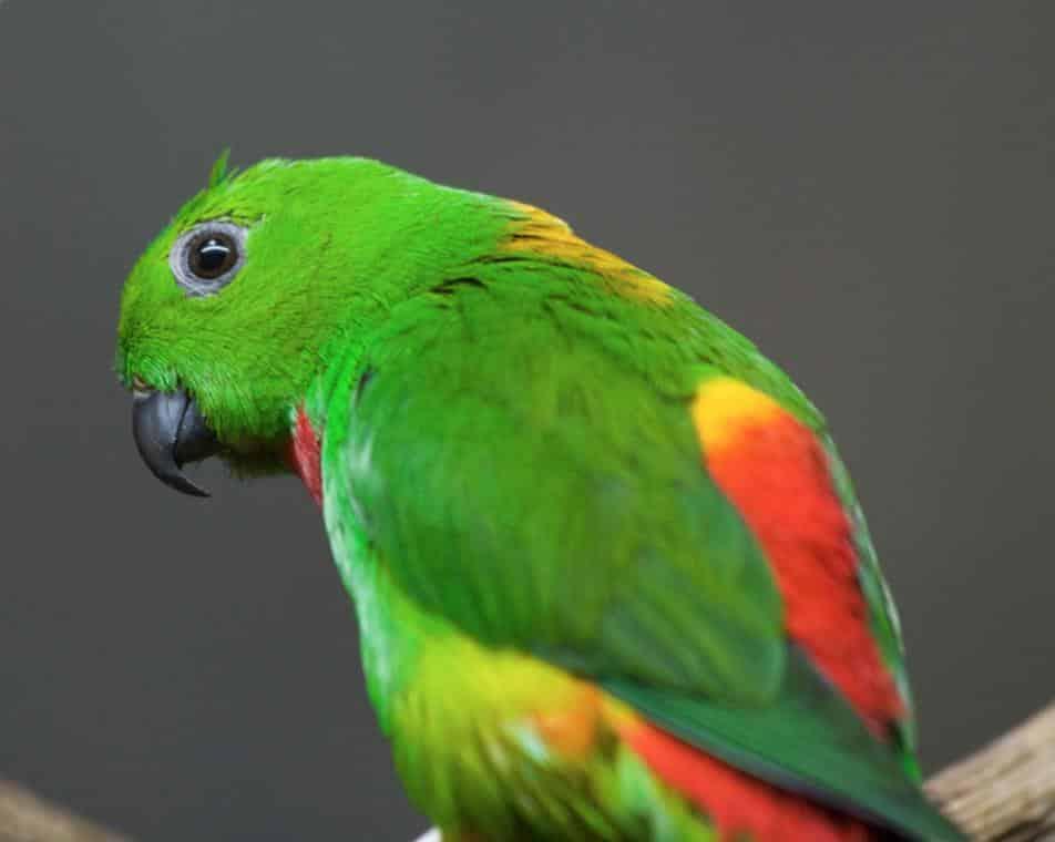 Gambar Burung Serindit Jantan