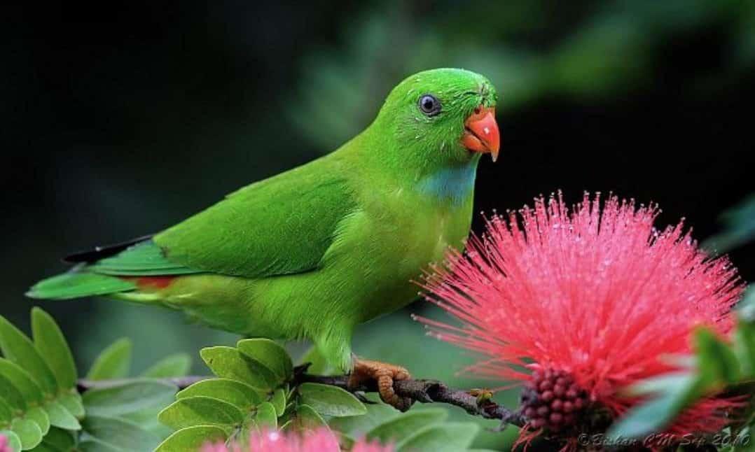 Gambar Burung Serindit