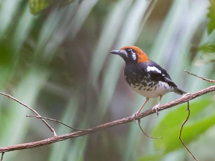 Burung Anis Kembang