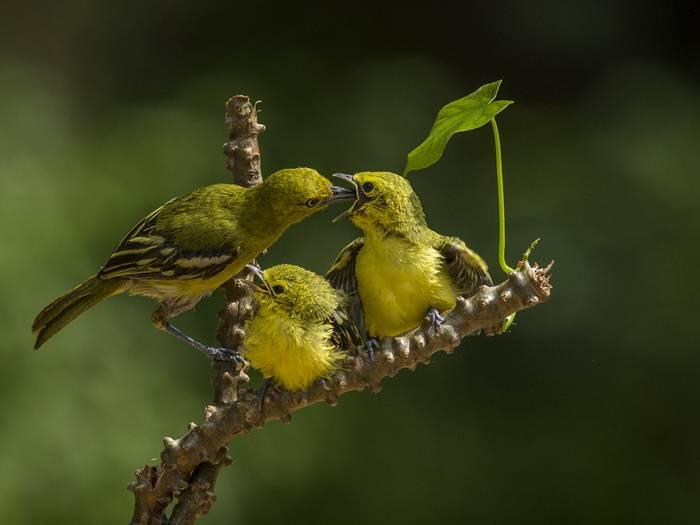 Burung Cipoh Anakan