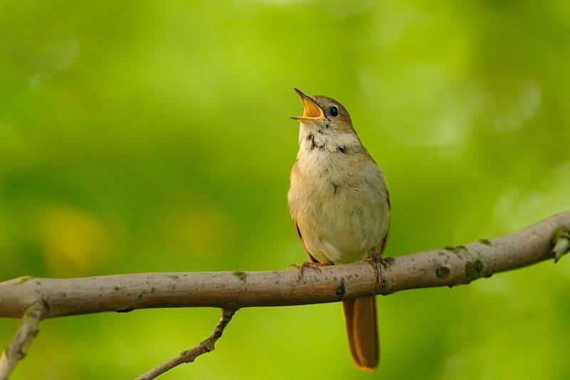 Burung Sikatan Londo