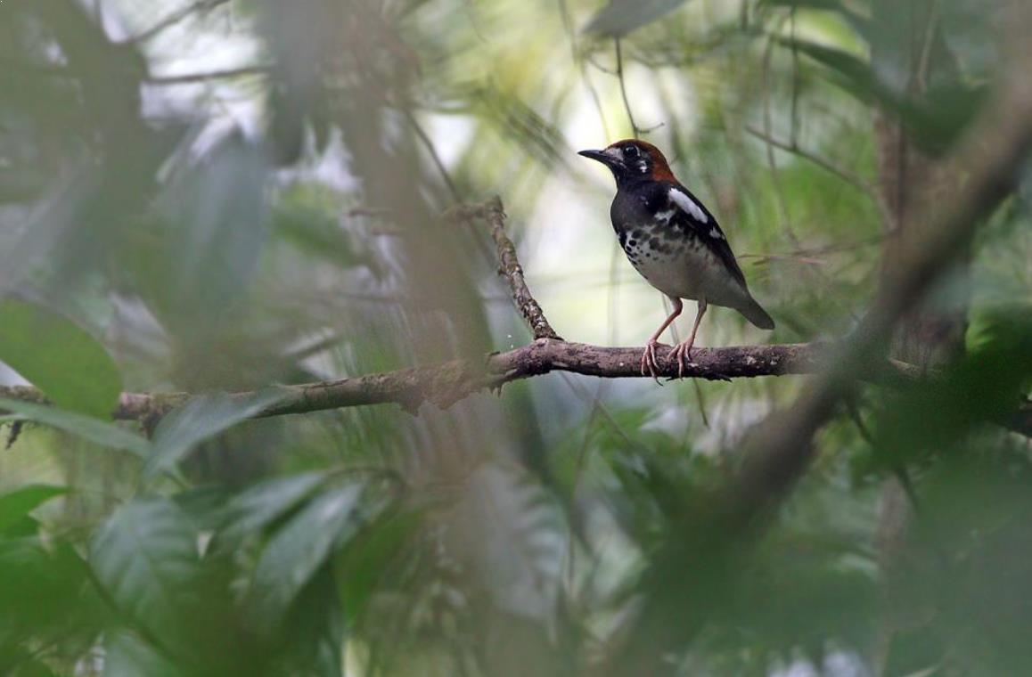Gambar Burung Anis Kembang Dewasa