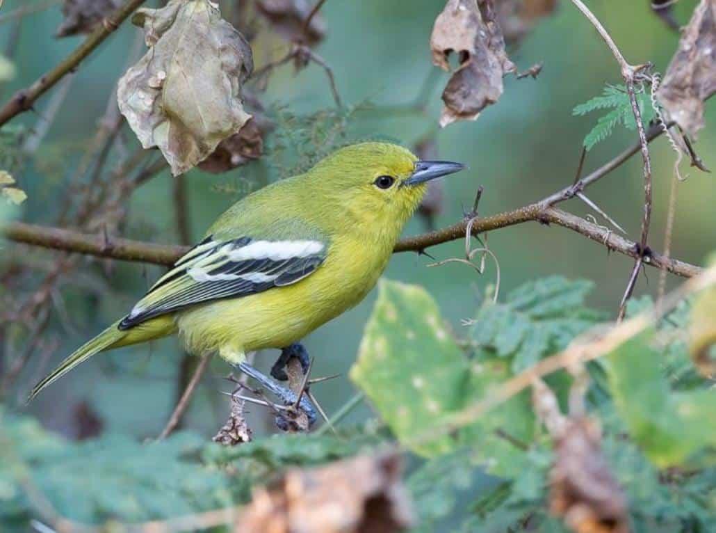 Daftar Harga Burung Cipoh Terbaru September 2020 Terlengkap