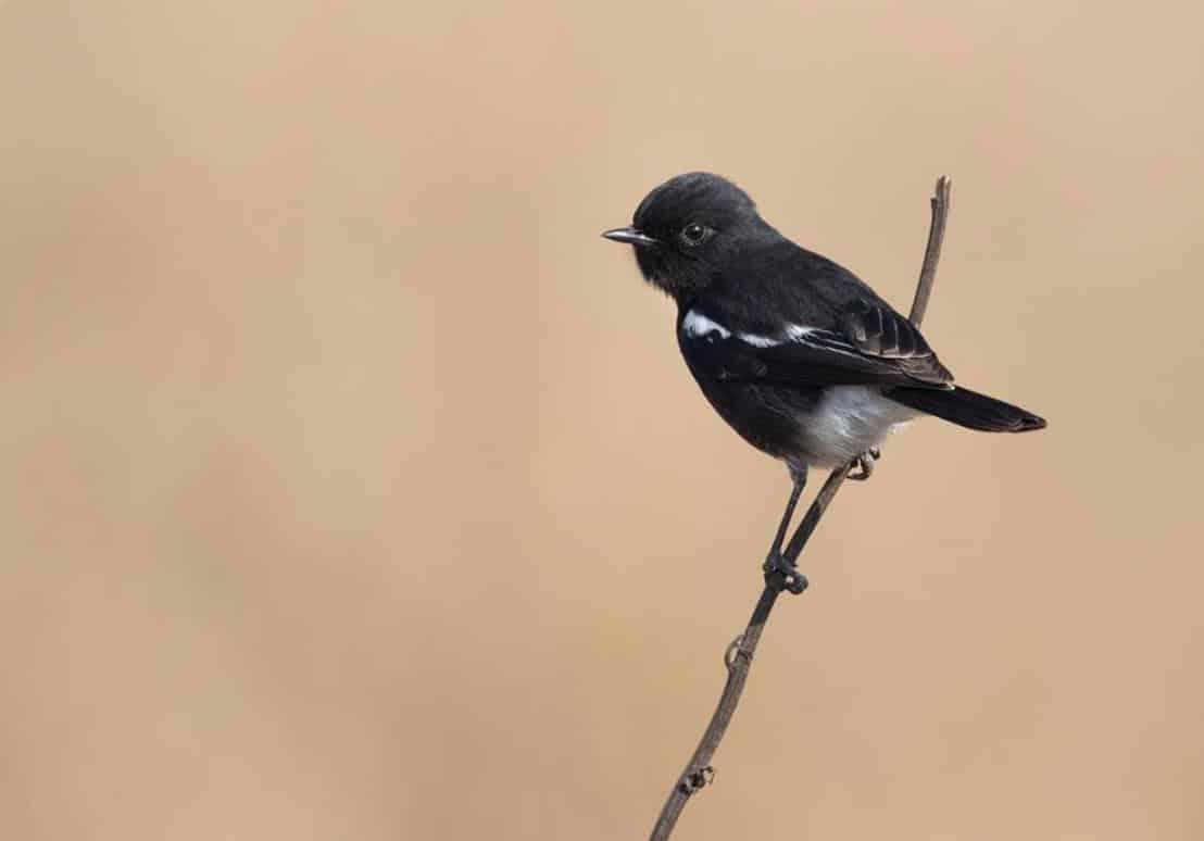 Gambar Burung Decu Gacor
