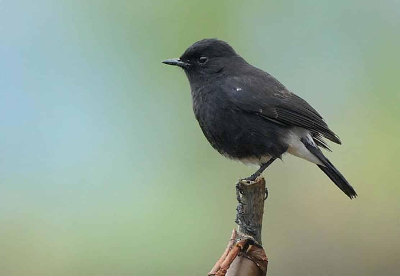 Gambar Burung Decu Jantan
