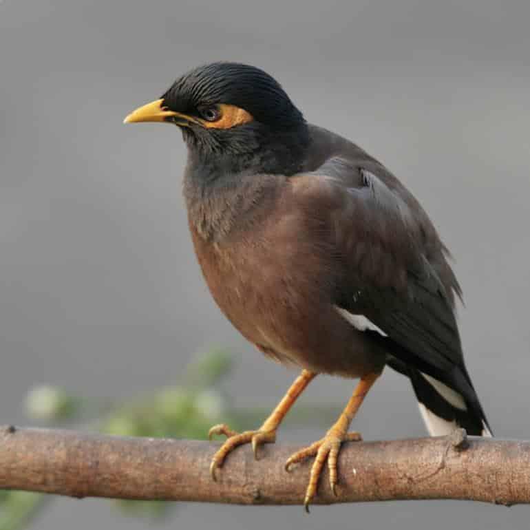 Gambar Burung Jalak Nias