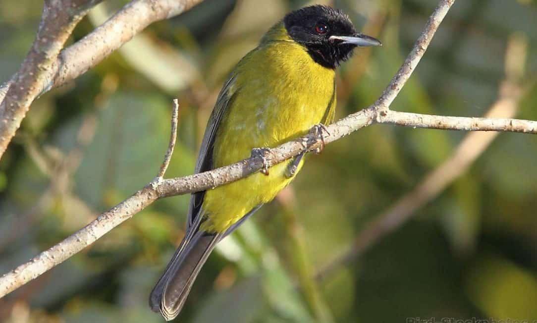 Gambar Burung Samyong