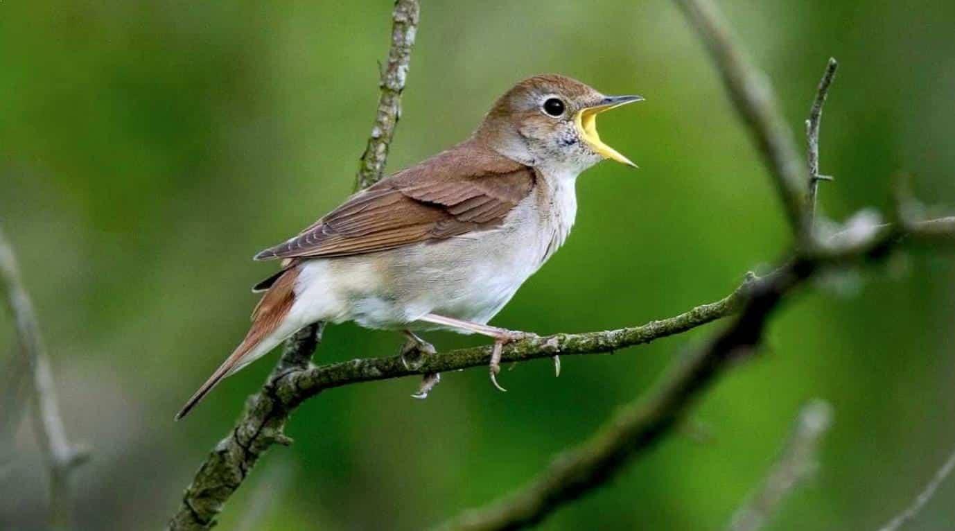 Gambar Burung Sikatan Londo Jantan