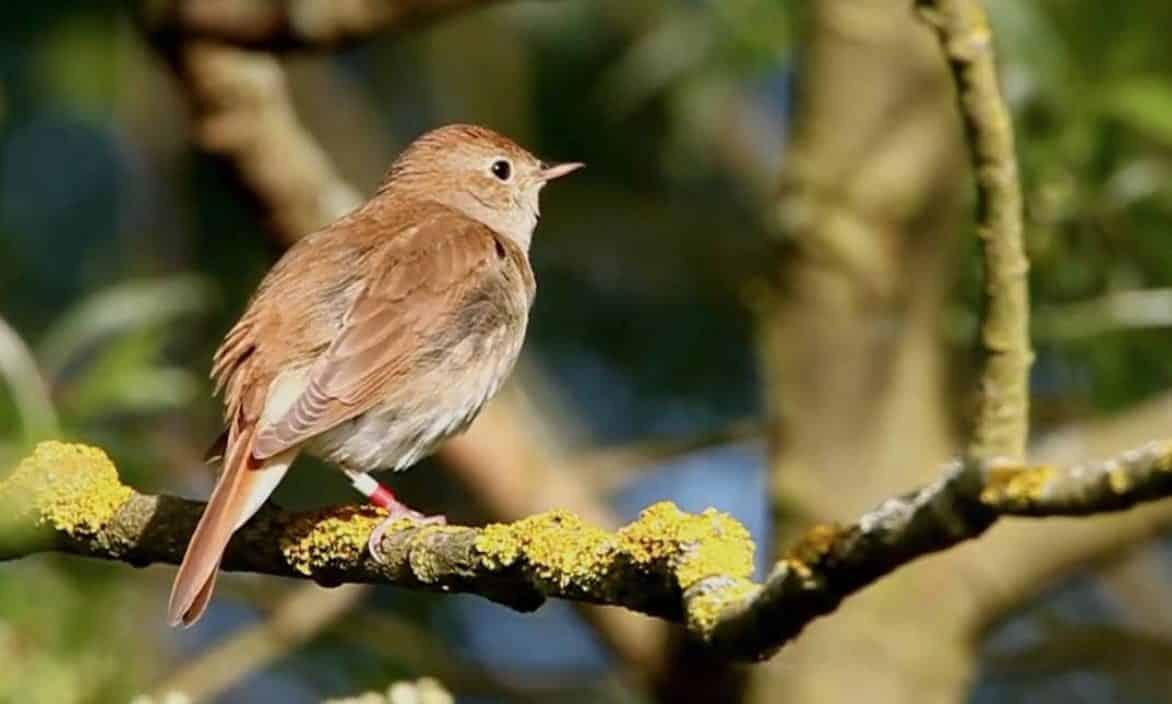 Gambar Burung Sikatan Londo