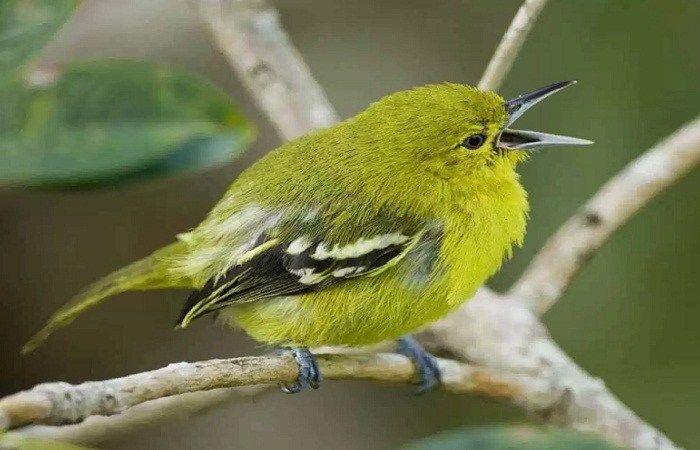 Burung Cipoh Gacor