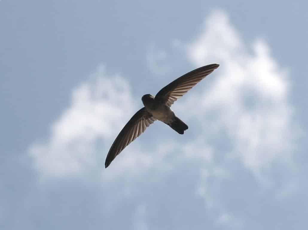 Foto Burung Walet Asli