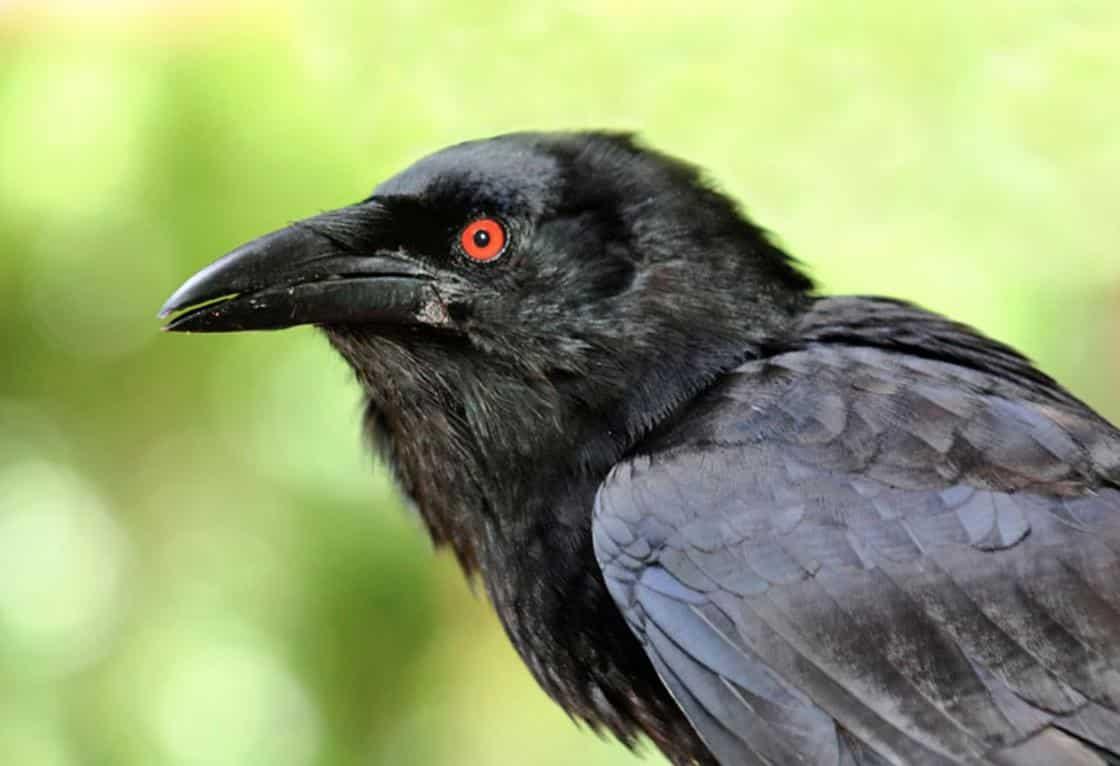 Gambar Burung Gagak Mata Merah