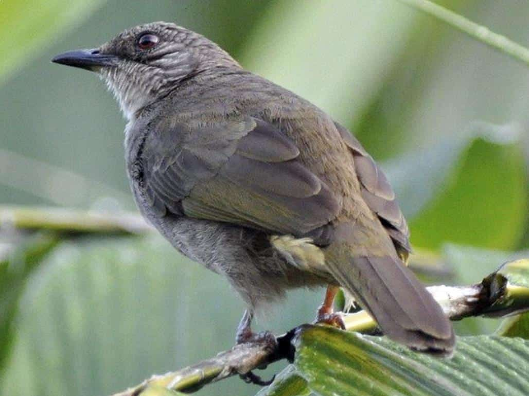 Gambar Burung Kapas Tembak