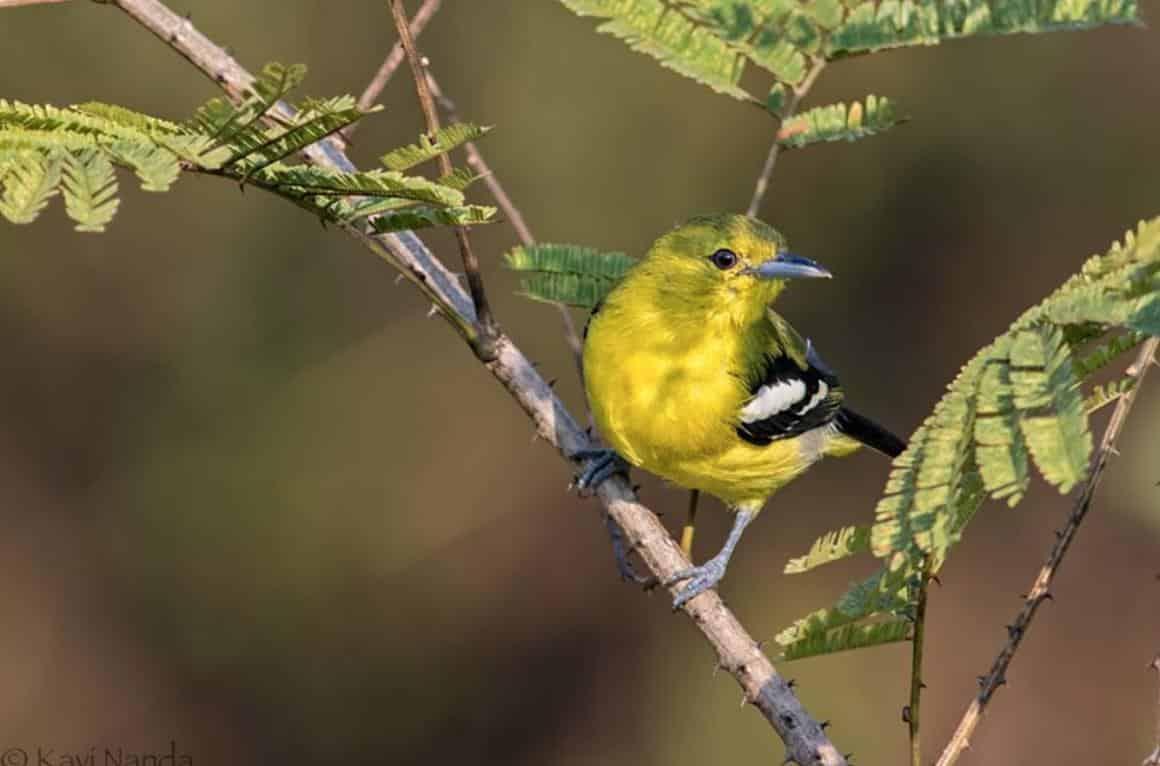Gambar Burung Sirtu Gacor