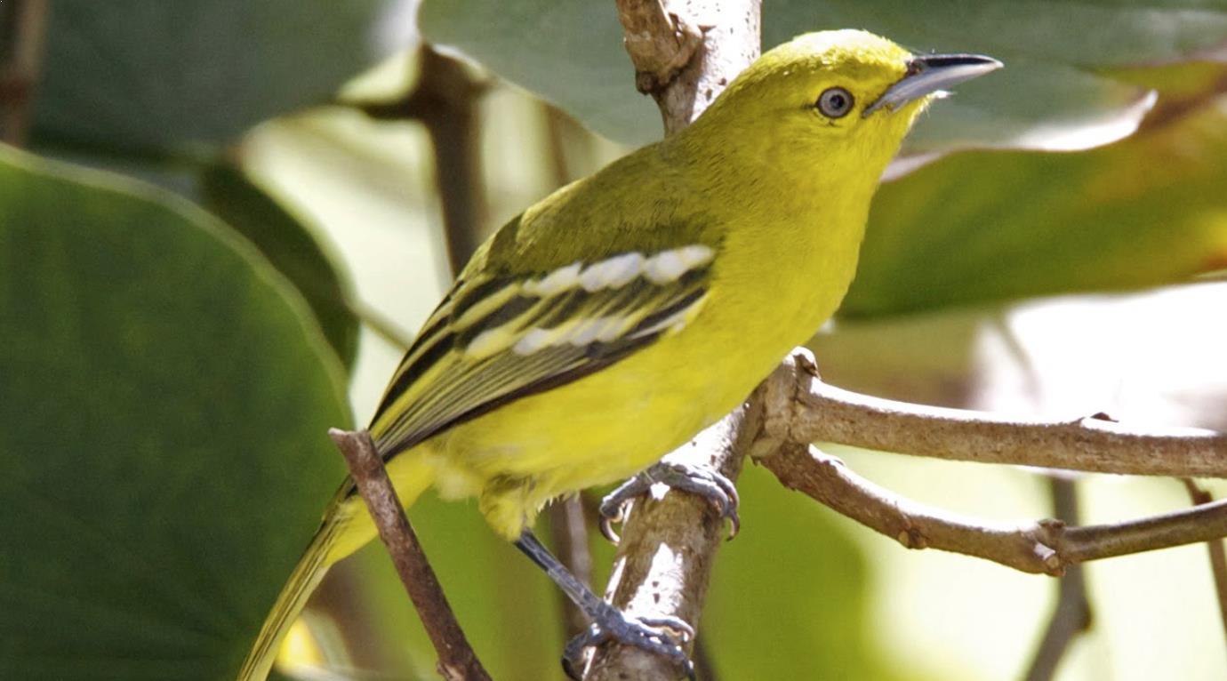 Gambar Burung Sirtu Jantan