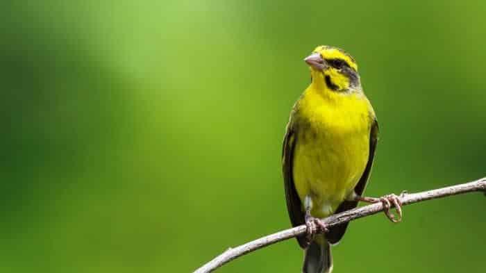 Burung mozambik