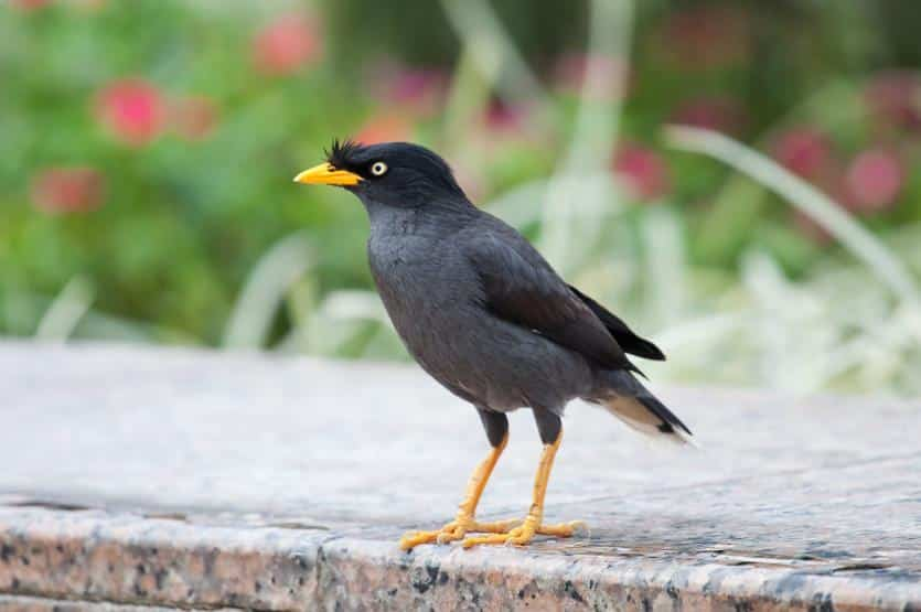 Foto Burung Jalak Kebo Gacor