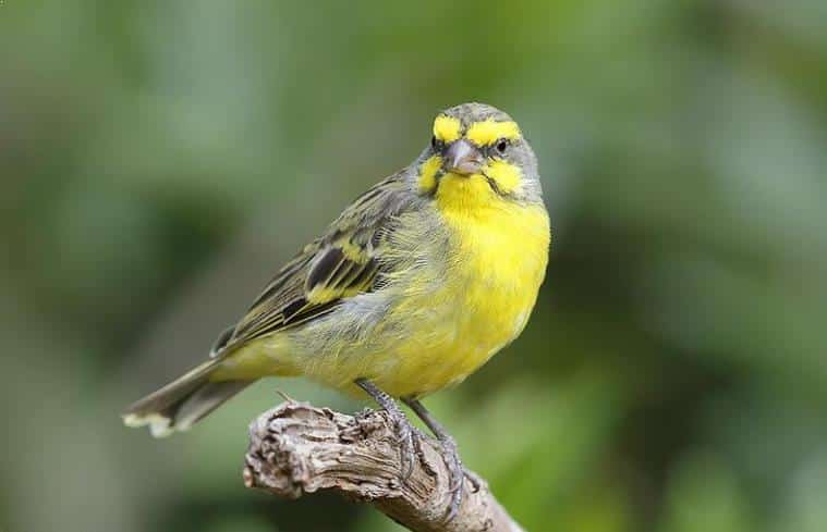 Foto Burung Mozambik
