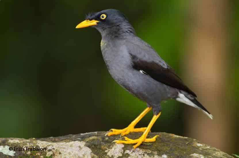 Gambar Burung Jalak Kebo Jantan