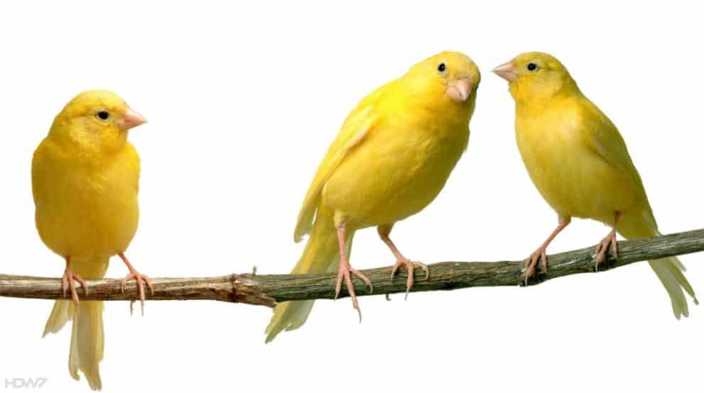Gambar Burung Kenari AF