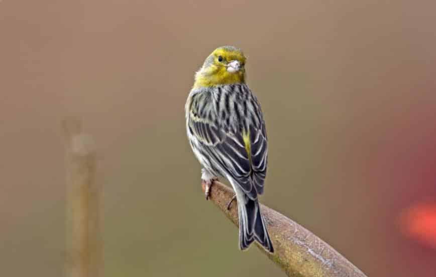Gambar Burung Kenari Jantan