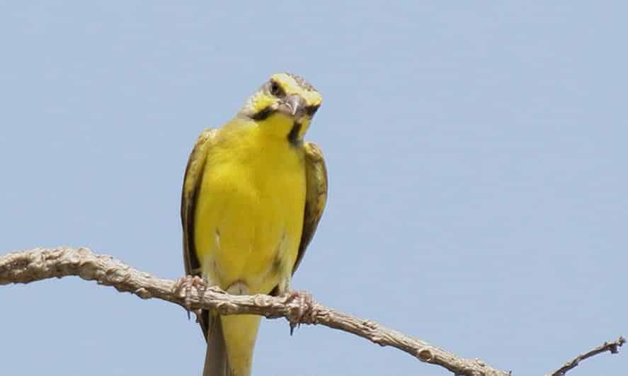 Gambar Burung Mozambik Jantan