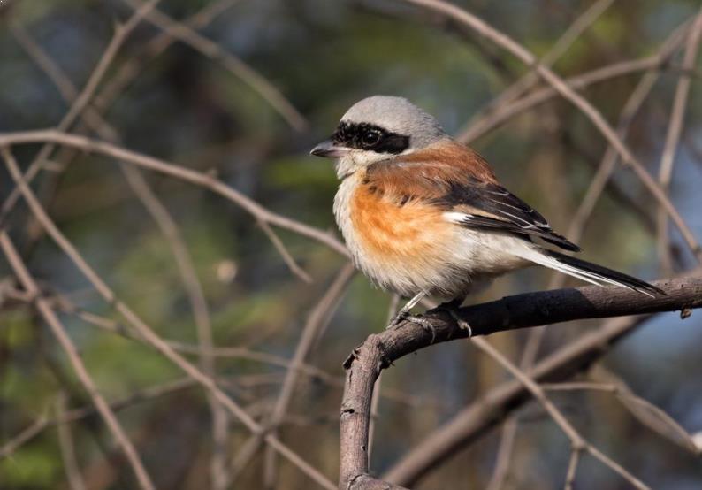 Gambar Burung Cendet Betina