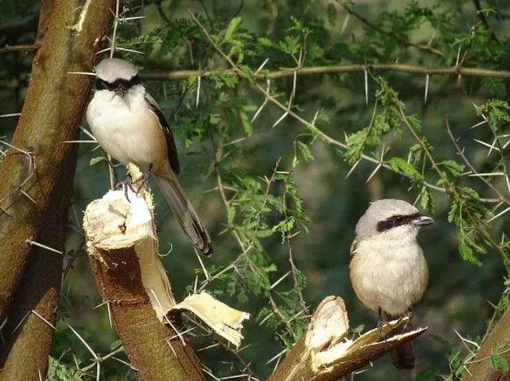Gambar Burung Cendet Jantan dan Betina