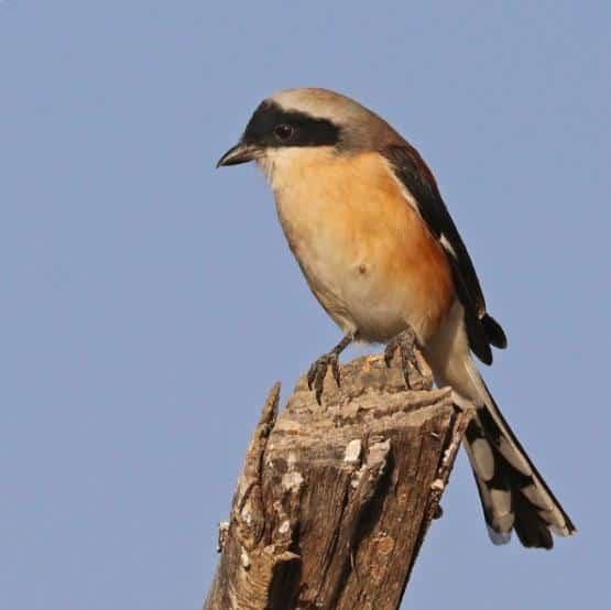 Gambar Burung Cendet Jantan