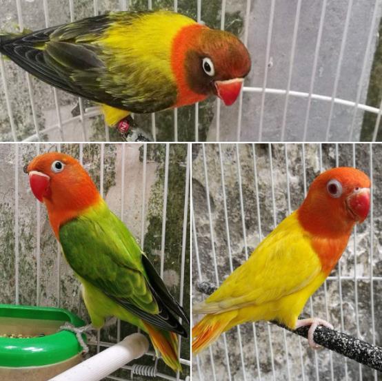 Gambar Burung Lovebird Biola