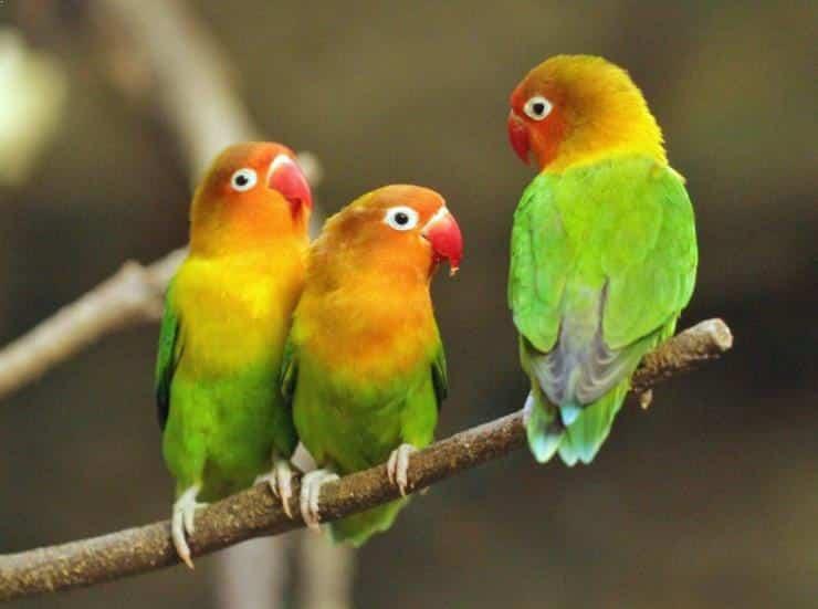 Gambar Burung Lovebird Lucu