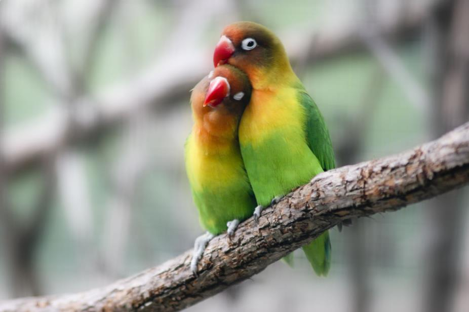 Gambar Lovebird