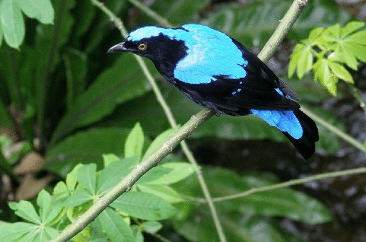 Burung-Cucak-Biru