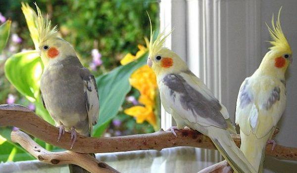 Burung Falk