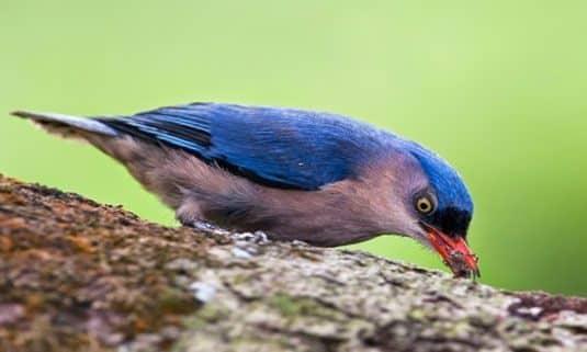 Burung Rambatan