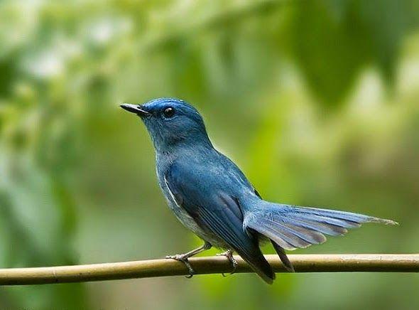 Burung Selendang Biru