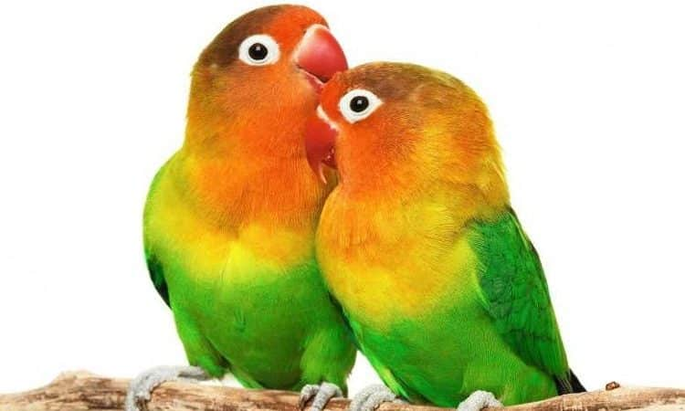 Burung lovevird betina dan jantan