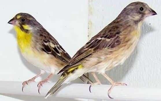 Gambar Burung Blackthroat Yellow