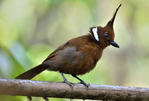 Gambar Burung Cililin Coklat