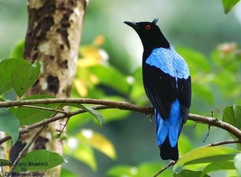 Gambar Burung Cucak Biru