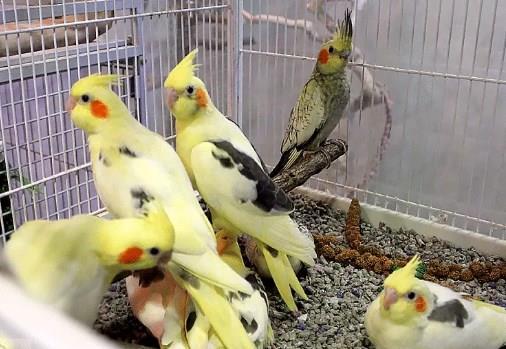 Gambar Burung Falk Bakalan