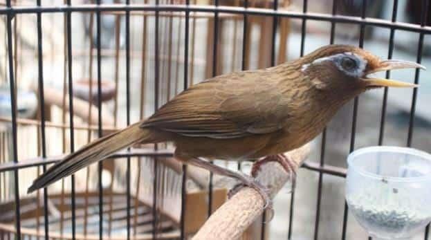 Gambar Burung Hwamei Bakalan
