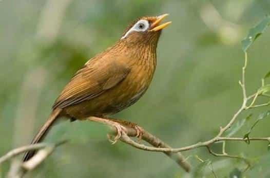 Gambar Burung Hwamei Gacor