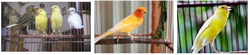 Gambar Burung Kenari Lokal