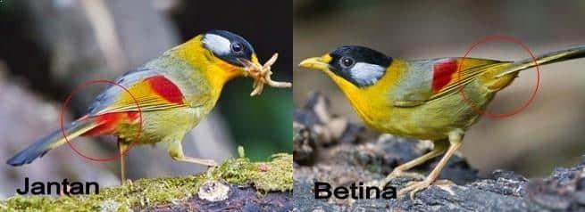 Gambar Burung Panca Warna Jantan Dengan Betina