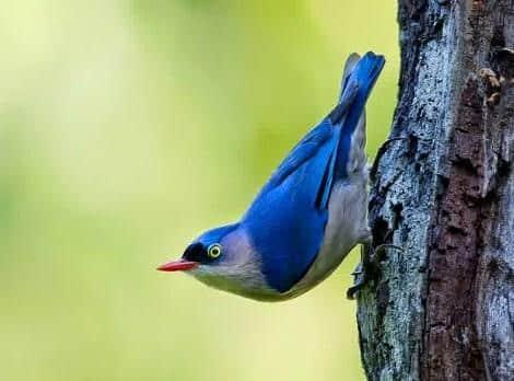 Gambar Burung Rambatan Gacor