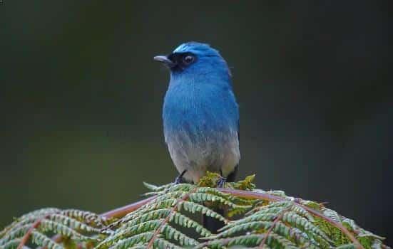 Gambar Burung Selendang Biru Cantik